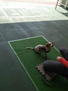 横浜の愛犬のしつけ方教室/バニラ-バイリンガル