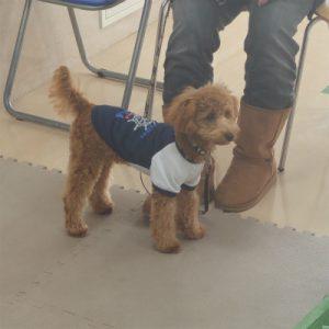 横浜の愛犬のしつけ方教室-まめすけ-後脚長いトイプードル